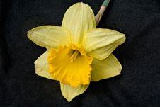 Free Daffodil Stock Image - 9401141