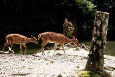 Axis Deer Stock Photography