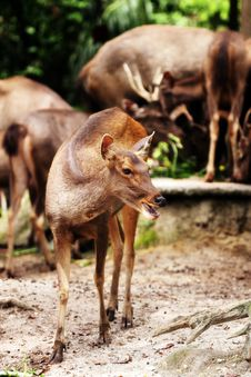 Free Hog Deer Royalty Free Stock Photos - 9402368