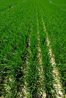 Free Rows Of Crops Royalty Free Stock Photo - 9402465