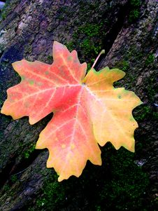 Free Autum Maple Leaf Stock Images - 9402994