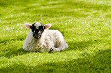 Free Lamb In Field Stock Photos - 9403333
