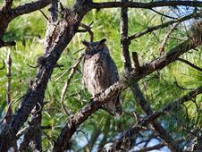 Free Great Horned Owl Stock Images - 9403754