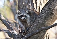 Free Raccoon Royalty Free Stock Images - 9403919