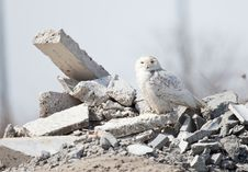 Free Snowy Owl Stock Photos - 9403943