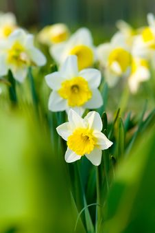 Beautiful Yellow Flowers Royalty Free Stock Images