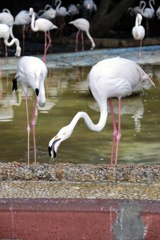 Free Flamingo Royalty Free Stock Photo - 9405465