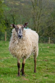 Free Woolly Ewe Stock Photo - 9406070