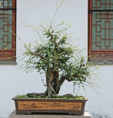 Free Bonsai Royalty Free Stock Photos - 9408968