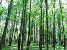 Free Green Forest Royalty Free Stock Photos - 9409688