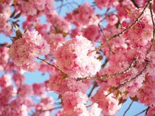 Free Blossom, Pink, Cherry Blossom, Spring Royalty Free Stock Image - 94002676