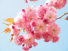 Free Blossom, Flower, Pink, Cherry Blossom Royalty Free Stock Photography - 94002827