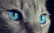 Free Cat, Blue, Whiskers, Face Stock Photos - 94006303