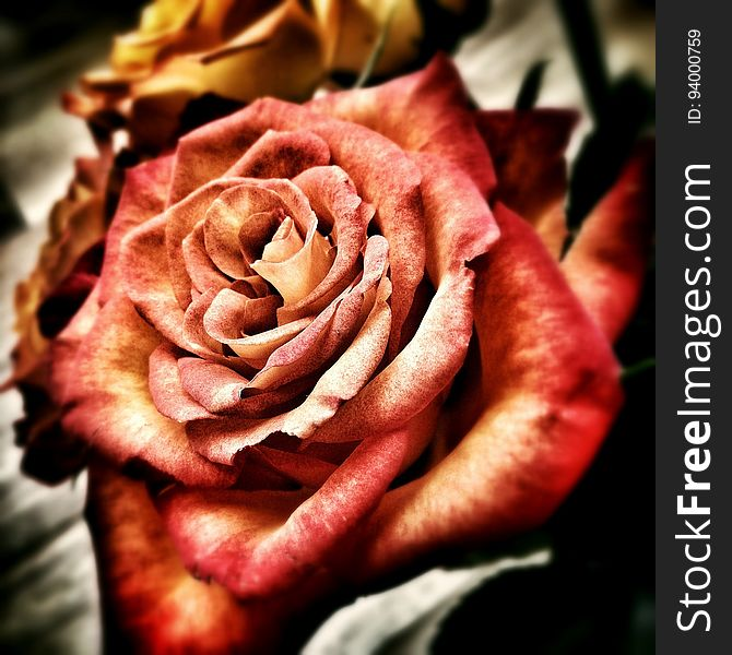 Rose, Rose Family, Pink, Flower