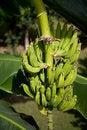 Free Bunch Of Bananas Stock Photo - 9411390