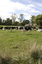 Free Herd Of Dairy Cows Royalty Free Stock Images - 9418559