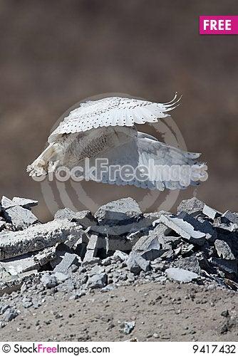 Free Snowy Owl Stock Photography - 9417432