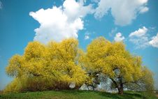 Free Yellow Tree Royalty Free Stock Images - 9410769