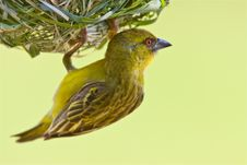 Free Yellow Weaver Stock Photos - 9411103