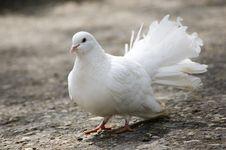 Free Pigeon Stock Photos - 9411213