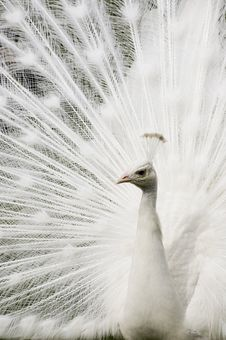 Free White Peacock Royalty Free Stock Image - 9411336