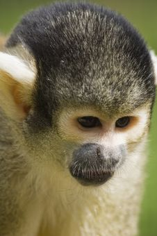 Free Squirrel Monkey Royalty Free Stock Photo - 9411385