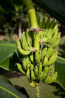 Free Bunch Of Bananas Stock Photo - 9411390