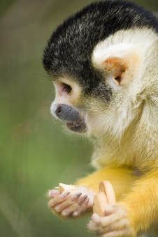 Free Squirrel Monkey Stock Photos - 9411423
