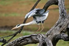 Free Grey Heron On Tree Stock Photo - 9411550