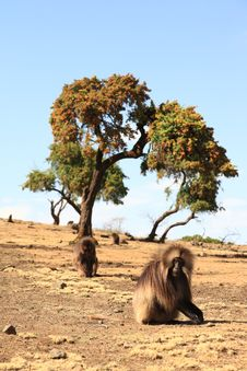 Free Gilada Baboons Stock Images - 9412334