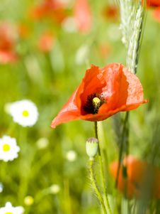 Free Red Poppy Stock Image - 9412601