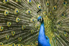 Paradise Bird Peacock Royalty Free Stock Images