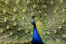 Free Paradise Bird Peacock Royalty Free Stock Photography - 9413057