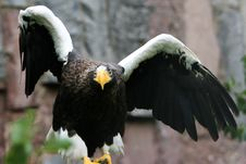 Free Eagle Spreading It Wings. Royalty Free Stock Images - 9414539