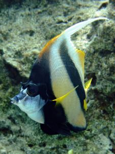Bannerfish Royalty Free Stock Photo