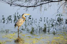 Free Great Blue Heron Royalty Free Stock Photos - 9415708