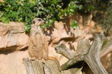 Free Meerkat (Suricate) Looking Right Stock Photos - 9416583