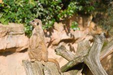 Free Meerkat (Suricate) Looking Left Royalty Free Stock Photos - 9416678