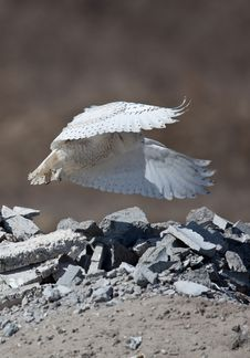 Free Snowy Owl Stock Photography - 9417432