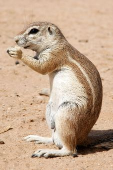 Free Ground Squirrel Stock Image - 9417911