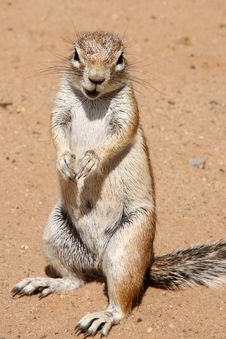Free Ground Squirrel Stock Images - 9417944
