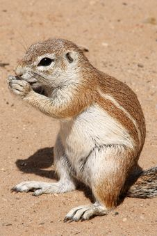 Free Ground Squirrel Stock Images - 9418034