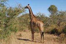 Free Female Giraffe In Africa Stock Photo - 9418500