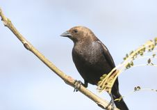 Free Brown-headed Cowbird Royalty Free Stock Images - 9419039