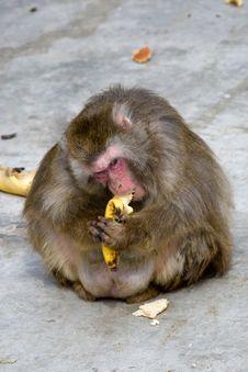 Free Macaca Fuscata Grey Japanese Monkey Stock Image - 9419241