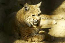 Free Lynx Resting Royalty Free Stock Photos - 9419628