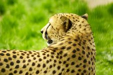 Free Cheetah Looking Back Stock Images - 9419684