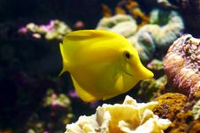 Feeding Yellow Tang (Zebramosa) Royalty Free Stock Photo