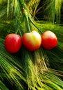 Free Three Cherries Stock Images - 9420384