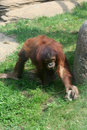 Free Orangutan Baby Royalty Free Stock Photos - 9426838